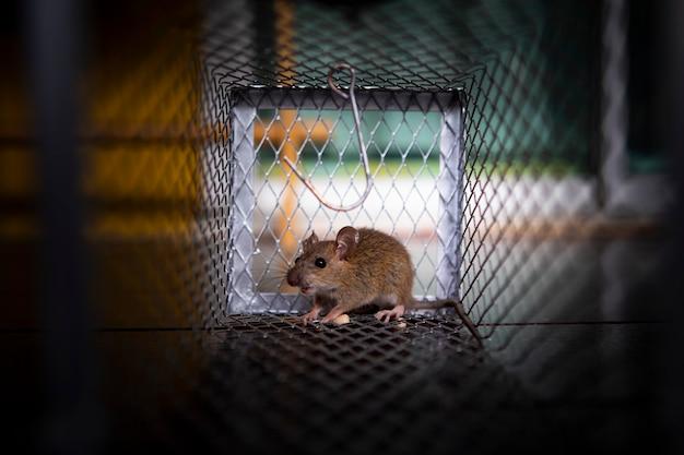 Een kleine rat gevangen in muizenval Premium Foto