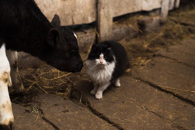 Een koe likt een kat op een boerderij. kat bewaakt stieren Premium Foto