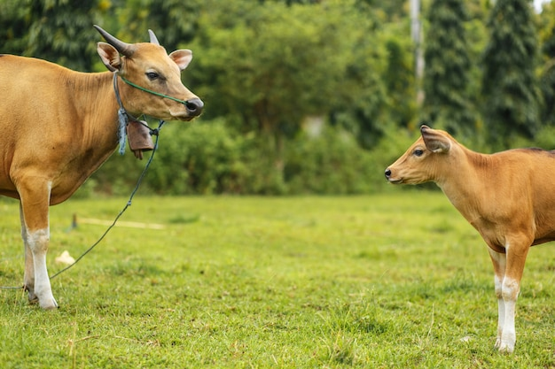 Een kudde heldere tropische aziatische koeien die op groen gras weiden. grote koe met kalf. Premium Foto