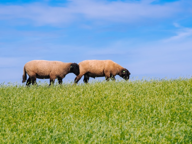 Een kudde schattige kleine lammeren en schapen op frisse groene weide in de nederlandse dijk. Premium Foto