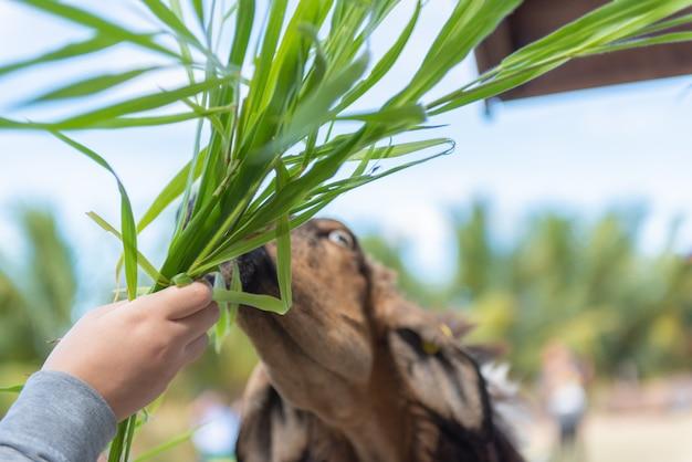 Een lam eet voer en de toeristen voeden lammeren in landbouwbedrijf. Premium Foto