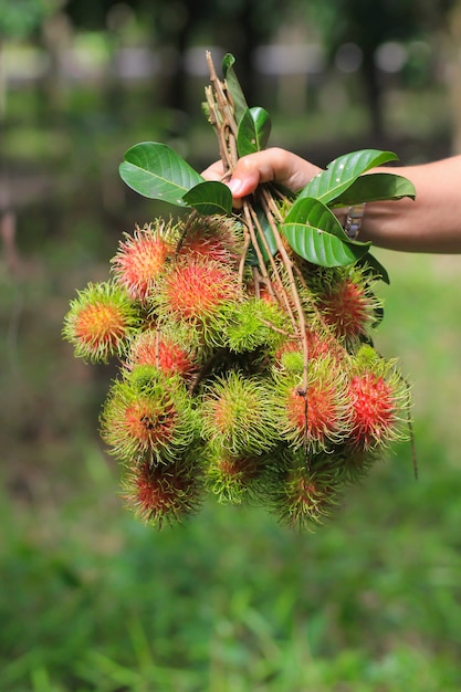 Een landbouwer die vers rambutan fruit in de tuin houdt Premium Foto