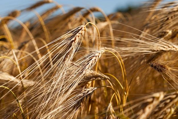 Een landbouwgebied met vergeeld rijp graan in de zomer Premium Foto