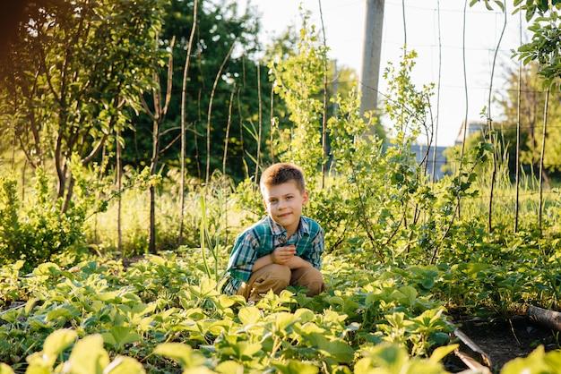 Een leuke en gelukkige peuterjongen verzamelt en eet rijpe aardbeien in een tuin op een zomerdag bij zonsondergang. gelukkige jeugd. gezond en milieuvriendelijk gewas. Premium Foto