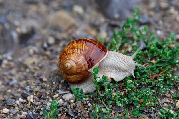 Een levende wijnslak kruipt op gras na regen. grote gedraaide natte shell, tentakels naar boven verlengd. detailopname. selectieve aandacht Premium Foto