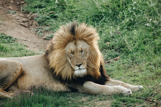 Een mannetjes leeuw liggend op het gras met zijn ogen dicht Gratis Foto