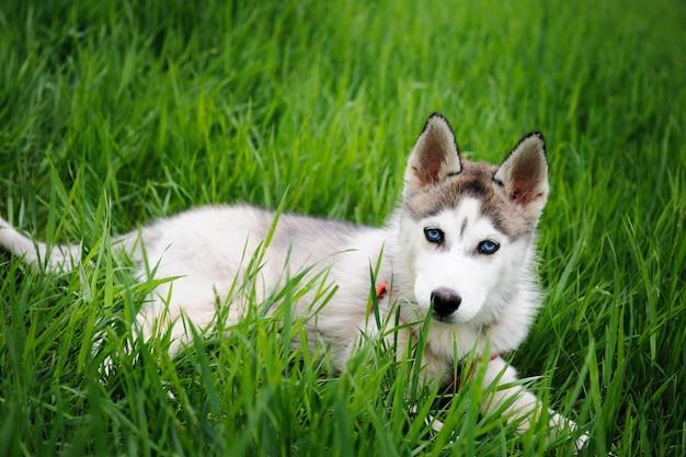 Een meisje en haar hond husky wandelen in een park Premium Foto