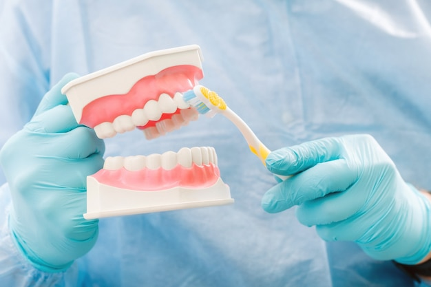 Een model van een menselijke kaak met tanden en een tandenborstel in de hand van de tandarts. Premium Foto