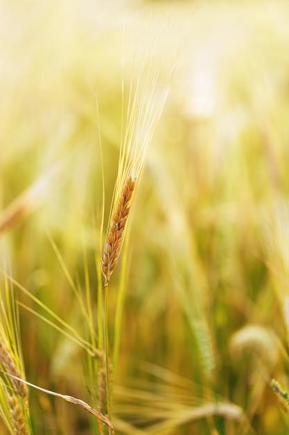 Een oor van rogge groeit op veld onder zonnestralen Premium Foto