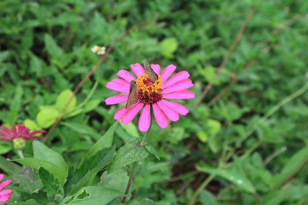 Een paar bruine vlinders die nectar op een trillende roze bloeiende wilde bloem van zinnia verzamelen Premium Foto