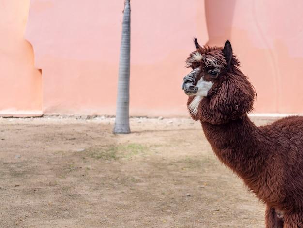 Een prachtige lama in de dierentuin Premium Foto