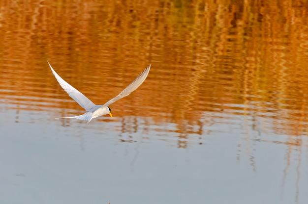 Een rivierstern die over een rivier vliegt Premium Foto