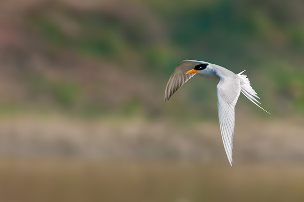 Een rivierstern die tegen vlot vliegt Premium Foto