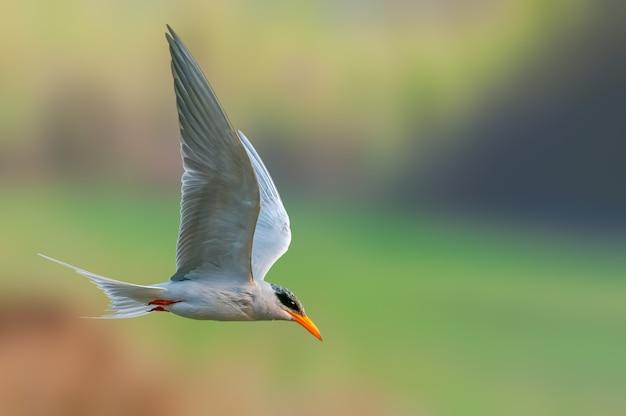 Een rivierstern vliegt tegen een vlot Premium Foto