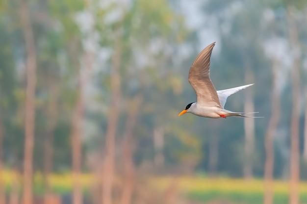 Een rivierstern vliegt terwijl de bomen binnen zijn Premium Foto
