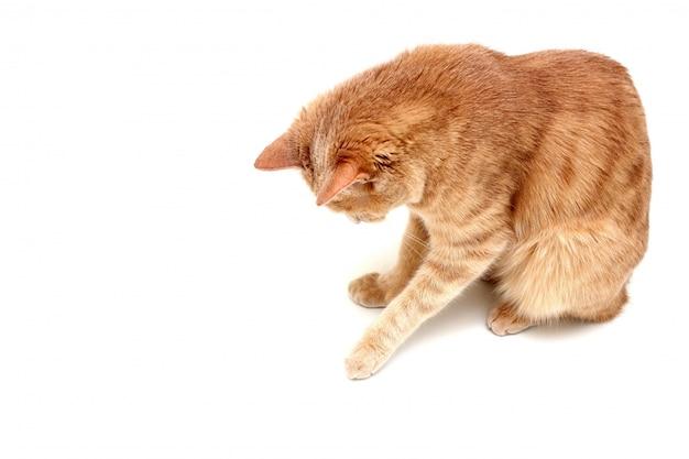Een rode kat geïsoleerd op een wit oppervlak kijkt naar beneden en raakt iets aan met zijn poot. Premium Foto