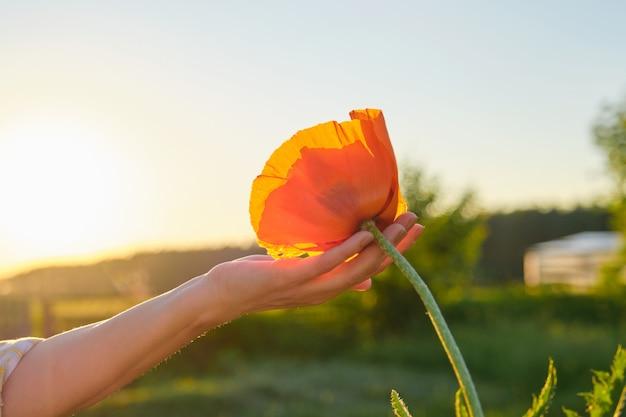 Een rode papaver bloem in de hand van de vrouw Premium Foto