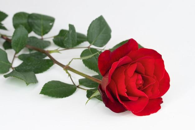 Een rode roos op witte achtergrond Premium Foto