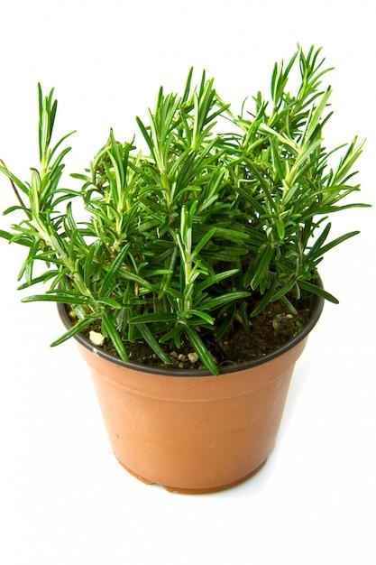 Een rozemarijnplant Premium Foto