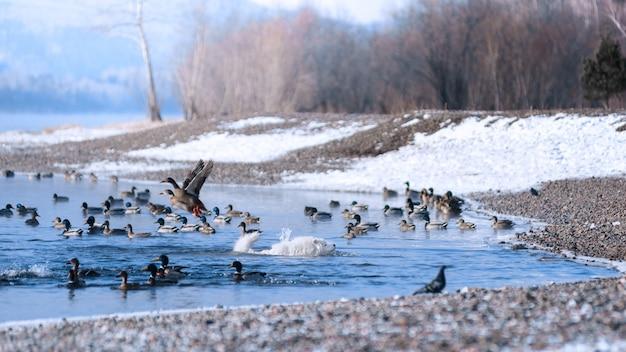 Een samojeed hond drijft in de winter langs de siberische rivier op jacht naar eenden. mooi landschap. Premium Foto