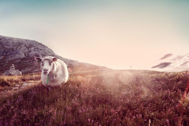 Een schaap weidt in de bergen bij zonsondergang Premium Foto