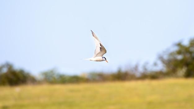 Een vliegende stern met witte veren en oranje snavel Gratis Foto