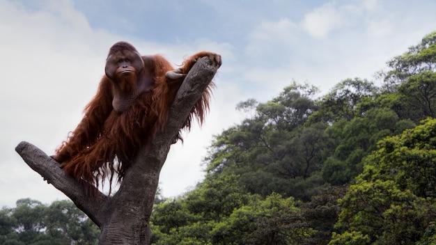Een volwassen borneose orang-oetan klom naar de top van de boom en ging zitten om het bos van bovenaf te zien op een dagzomer met blauwe lucht. pongo pygmaeus Premium Foto