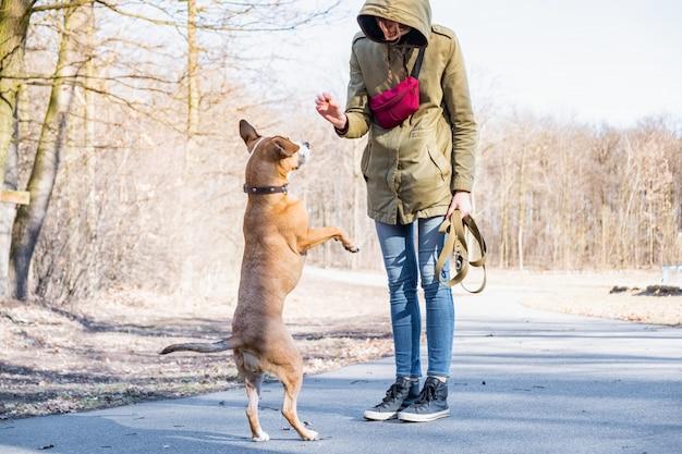 Een volwassen hond trainen om op twee benen te lopen. persoon die een staffordshire terriër in een park opleiden. Premium Foto