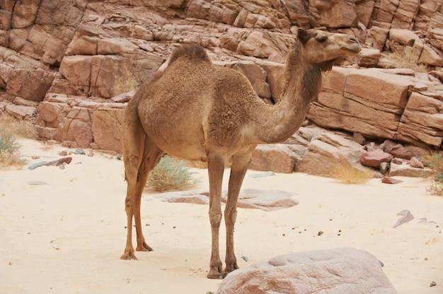 Een wilde kameel in de sinaï-woestijn Premium Foto