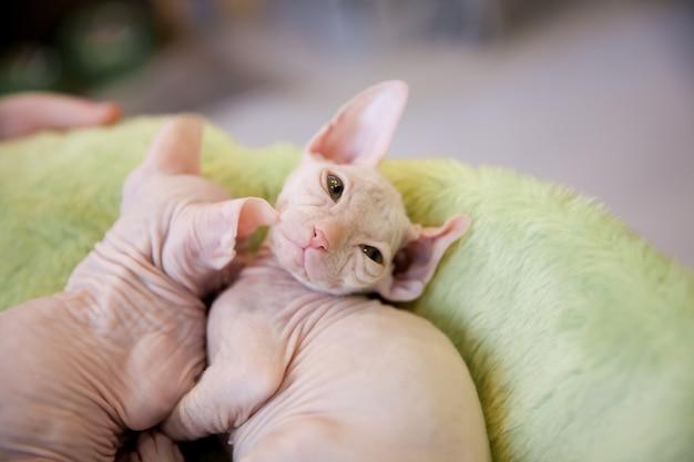 Een witte twee maanden oude don sphinx-kat op lichtgroen bonttapijt Premium Foto