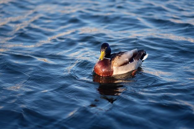 Eend die in het blauwe water zwemt Premium Foto