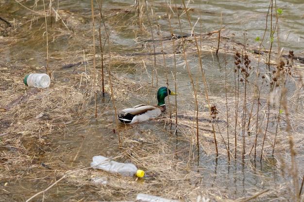Eend zwemmen in een rivier met afvalflessen, concept van plastic afvalvervuiling Premium Foto