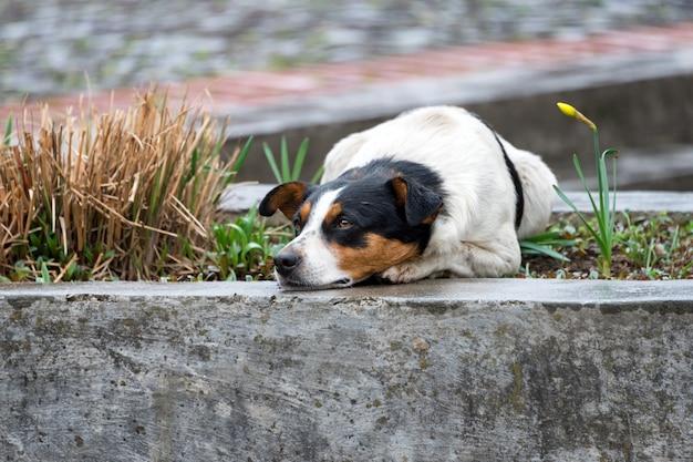 Eenzame en trieste dakloze hond liggend op straat Premium Foto