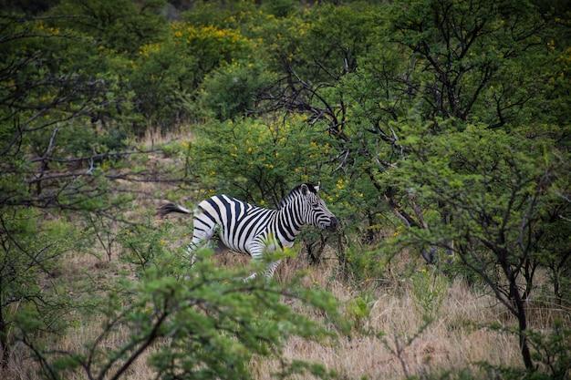 Eenzame zebra die overdag in de buurt van groene bomen in een bos loopt Gratis Foto