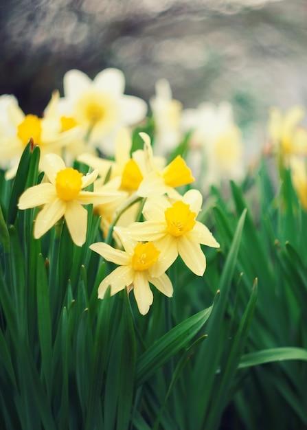 Eerste lentebloemen, witte en gele narcissen. Premium Foto
