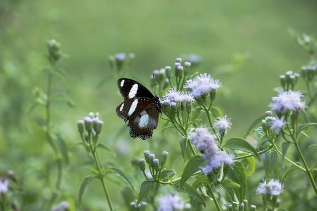 Eggfly butterfly op de bloeminstallatie Premium Foto