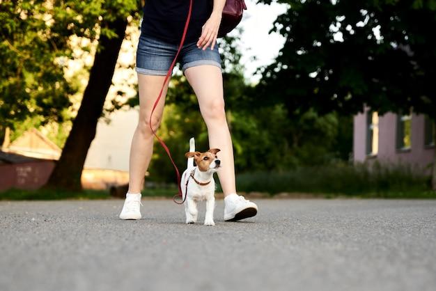 Eigenaar die haar jack russell terrier-hond loopt Premium Foto
