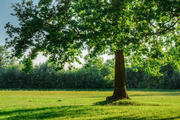 Eik met groen gebladerte op de zomergebied in zonsonderganglicht Premium Foto