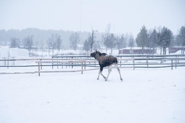 Elanden lopen in een besneeuwd veld in het noorden van zweden Gratis Foto