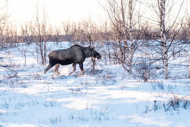 Elanden wandelen in een veld bedekt met de sneeuw in noord-zweden Gratis Foto