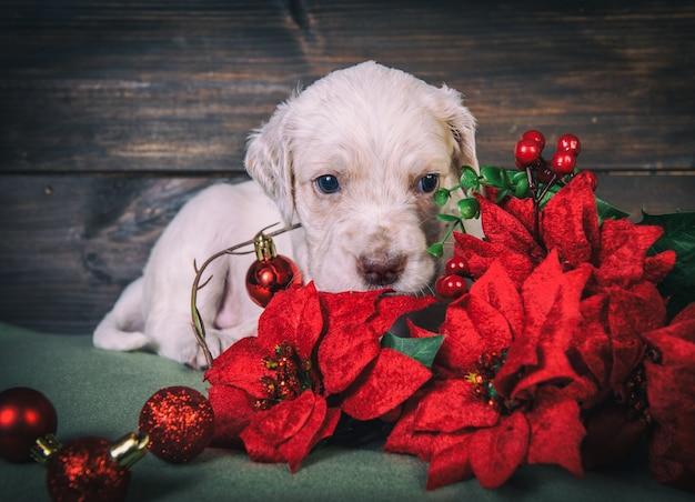 Engels setterpuppy met rode poinsettiabloemen en de ballen van het kerstmisspeelgoed. kerst achtergrond Premium Foto