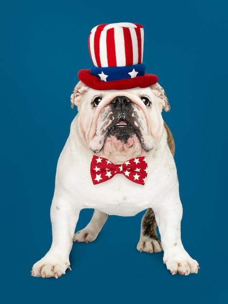 Engelse bulldog uit de vs. Premium Foto