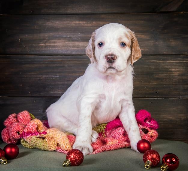 Engelse setter puppy hondje met gebreide warme sjaal en kerstballen speelgoed. kerst achtergrond Premium Foto