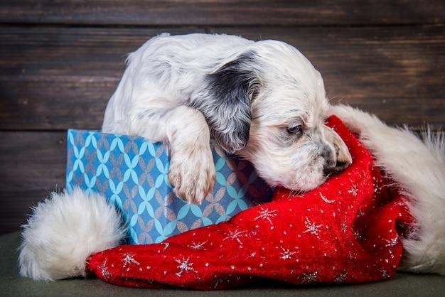 Engelse setter puppy hondje met kerstman hoed in geschenkdoos. kerst achtergrond Premium Foto