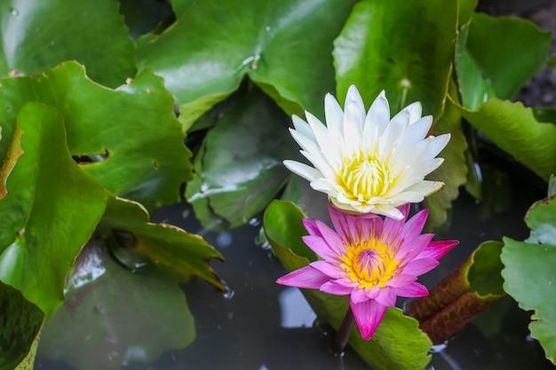 Enkele eenvoudige kleurrijke mooie roze paarse lotusbloem van de close-up bovenaanzicht Premium Foto
