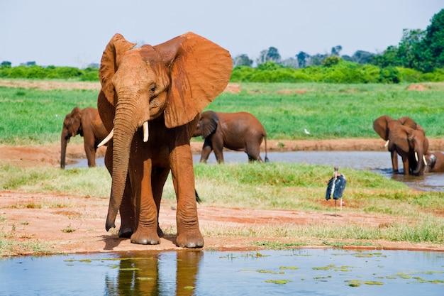 Enorme mannelijke afrikaanse olifant Premium Foto