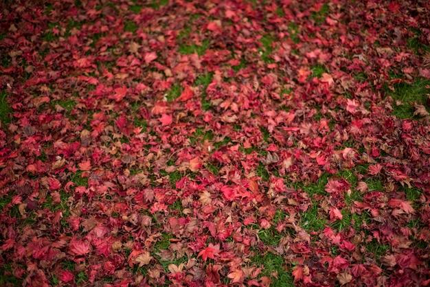 Esdoorn bladeren gevallen op gras Gratis Foto