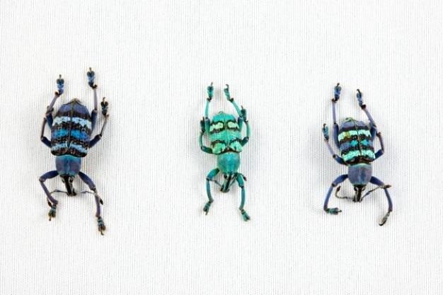 Eupholus kever trio Gratis Foto