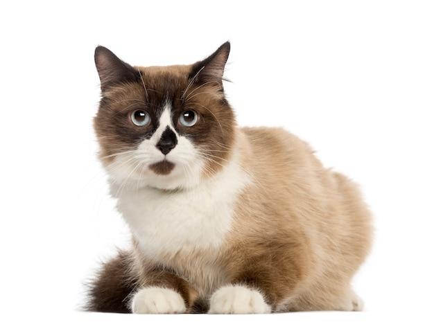 Europese korthaar kat, liegen, geïsoleerd op wit Premium Foto
