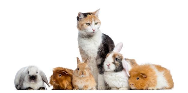 Europese korthaar met konijnen en cavia's op een rij Premium Foto